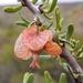 Bougainvillea spinosa - Photo (c) Carolina Barroso, όλα τα δικαιώματα διατηρούνται