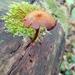 Phaeomarasmius proximans - Photo (c) Cari Ocock, all rights reserved