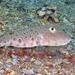 Sphoeroides maculatus - Photo (c) Kevin Bryant, algunos derechos reservados (CC BY-NC-SA)