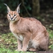 Southern and Eastern African Caracal - Photo (c) Marco Anfossi, all rights reserved