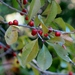 Possumhaw - Photo (c) Suzette Rogers, all rights reserved