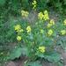 Black Mustard - Photo (c)  Katrin Schneider / korina.info, some rights reserved (CC BY-SA)