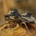 Phymata - Photo (c) Alice Abela, todos os direitos reservados
