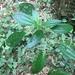 Pilea melastomoides - Photo (c) jiasinlin, όλα τα δικαιώματα διατηρούνται