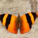Mariposas Estandartes - Photo (c) Julio Alejandro Álvarez Ruiz, todos los derechos reservados