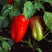 Peppers - Photo (c) Ion Chibzii, some rights reserved (CC BY-SA)