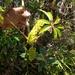 Sciodaphyllum brownei - Photo (c) Damion Laren Whyte, todos los derechos reservados