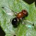 Mycetaulus - Photo (c) Gary McDonald, כל הזכויות שמורות