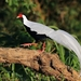 Silver Pheasant - Photo (c) 刘小虎, all rights reserved