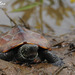 Chinese Pond Turtle - Photo (c) pintail, all rights reserved, uploaded by Kim, Hyun-tae