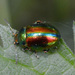 Dead-nettle Leaf Beetle - Photo (c) Dimitǎr Boevski, some rights reserved (CC BY)
