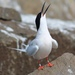 Roseate Tern - Photo (c) Cédric Duhalde, all rights reserved