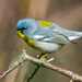 Northern Parula - Photo (c) Bill VanderMolen, some rights reserved (CC BY-NC-SA)