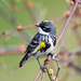 Yellow-rumped Warbler - Photo (c) Tom Murray, some rights reserved (CC BY-NC)