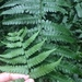Diplazium viridissimum - Photo (c) shenfangru, כל הזכויות שמורות