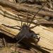 Neosadocus bufo - Photo (c) Enio Branco, όλα τα δικαιώματα διατηρούνται
