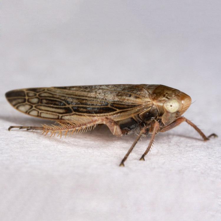 Acinopterus angulatus; (c) Gary McDonald, all rights reserved