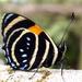 Callicore lyca - Photo (c) John Slapcinsky, todos los derechos reservados