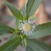 Zarzaparrilla - Photo (c) Colectivo Sonora Silvestre, todos los derechos reservados