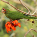 Mitred Parakeet - Photo (c) Tom Queally, all rights reserved