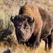 Plains Bison - Photo (c) David W. Boston, all rights reserved