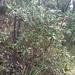 Olearia viscosa - Photo (c) Inger Visby, todos los derechos reservados
