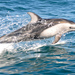 Pacific White-sided Dolphin - Photo (c) Cédric Duhalde, all rights reserved