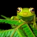 Rough-skinned Green Tree Frog - Photo (c) Andrés Mauricio Forero Cano, all rights reserved