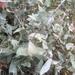 Eucalyptus tenuiramis - Photo (c) dougclarke2666, todos los derechos reservados
