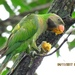Psittacula alexandri - Photo (c) Angela Christine Chua, todos os direitos reservados