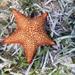 Oreaster reticulatus - Photo (c) mayiszambo, όλα τα δικαιώματα διατηρούνται