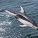 Pacific White-sided Dolphin - Photo (c) Kate Magoon, all rights reserved