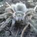 Pedregal Tarantula - Photo (c) cipactli, all rights reserved