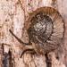 Thalassohelix zelandiae - Photo (c) Danilo Hegg, todos los derechos reservados