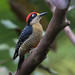 Black-cheeked Woodpecker - Photo (c) Richard Yank, all rights reserved