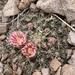 Mammillaria heyderi gummifera - Photo (c) Jesús Derma, todos os direitos reservados