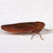 Achilid Planthoppers - Photo (c) Gary McDonald, all rights reserved