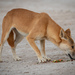 Dingo - Photo (c) Dominic Chaplin, all rights reserved