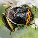 Cosmopepla conspicillaris - Photo (c) Gary McDonald, todos los derechos reservados