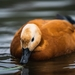 Ruddy Shelduck - Photo (c) Marco Anfossi, all rights reserved