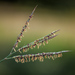 Big Bluestem - Photo (c) Gordon Dietzman, all rights reserved