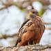 Black Kite - Photo (c) Philip Herbst, all rights reserved
