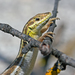 Snake-eyed Lizard - Photo (c) mattberry, all rights reserved