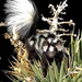 Western Spotted Skunk - Photo (c) aambos, all rights reserved