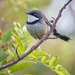 Albany Barthroat Apalis - Photo (c) Philip Herbst, all rights reserved