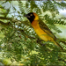 Lesser Masked Weaver - Photo (c) Rogério Ferreira, all rights reserved