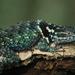 Sceloporus torquatus - Photo (c) Jorge Rojas S., כל הזכויות שמורות