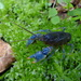 Blue Crayfish - Photo (c) Pete Woods, all rights reserved