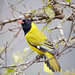 Southern Black-headed Oriole - Photo (c) Philip Herbst, all rights reserved