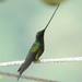 Sword-billed Hummingbird - Photo (c) Todd Boland, all rights reserved